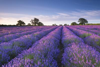 https://imgc.artprintimages.com/img/print/lavender-field-at-dawn-somerset-england-summer-july_u-l-pxt1bq0.jpg?p=0