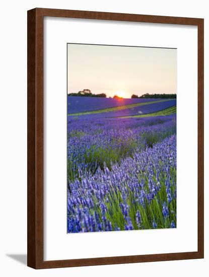 Lavender Field at Snowshill Lavender, the Cotswolds, Gloucestershire, England-Matthew Williams-Ellis-Framed Photographic Print