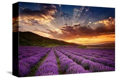 Lavender Field at Sunrise--Stretched Canvas Print