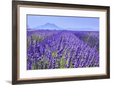 Lavender Field Close Up-Cora Niele-Framed Giclee Print