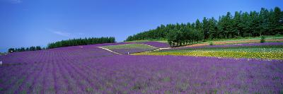 Lavender Field (Nakafurano) Hokkaido Japan--Photographic Print