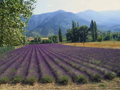 Lavender Field, Plateau De Sault, Provence, France-Guy Thouvenin-Photographic Print