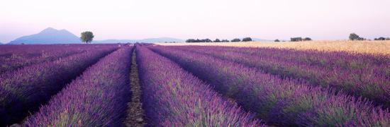 Lavender Field, Plateau De Valensole, France--Photographic Print