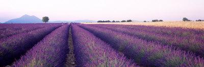 https://imgc.artprintimages.com/img/print/lavender-field-plateau-de-valensole-france_u-l-ojz8g0.jpg?p=0