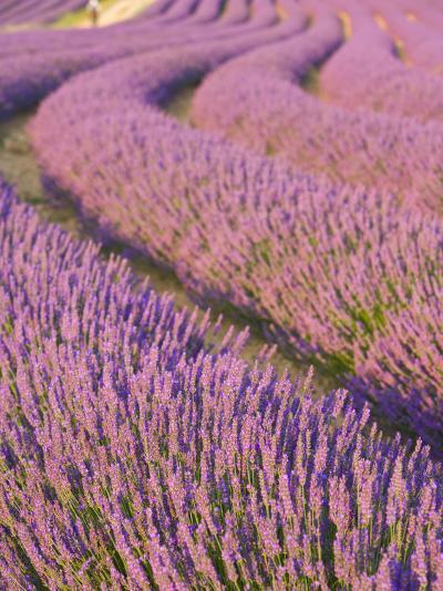 Lavender Field, Provence-Alpes-Cote D'Azur, France-Doug Pearson-Photographic Print