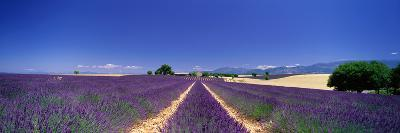 Lavender Field Provence France--Photographic Print