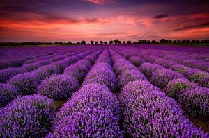 Lavender Field Sunset Provence