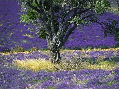 Lavender Field, Vaucluse, Sault, Provence-Alpes-Cote D'Azur, France-Bruno Morandi-Photographic Print