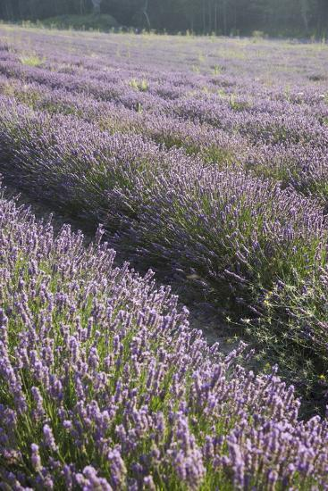 Lavender Fields, Provence, France, Europe-Angelo Cavalli-Photographic Print