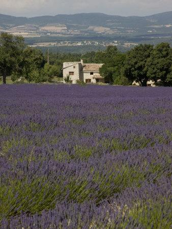 Lavender Fields, Sault En Provence, Vaucluse, Provence, France, Europe-Angelo Cavalli-Photographic Print