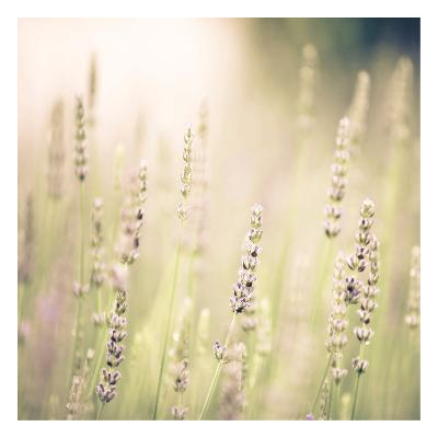 Lavender Fields-Tracey Telik-Art Print