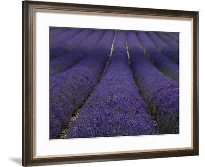 Lavender Fields.-Doug McKinlay-Framed Photographic Print