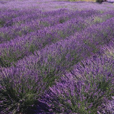 Lavender Fields-DLILLC-Photographic Print