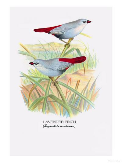 Lavender Finch-Arthur G^ Butler-Art Print
