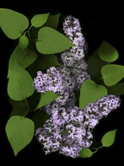 Lavender Lilac Plant-Anna Miller-Photographic Print