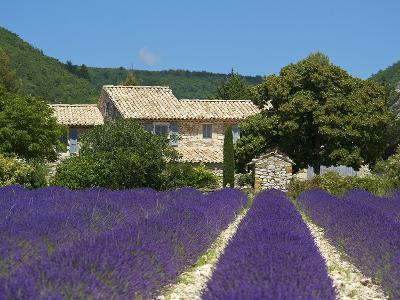 Lavender Near Banon, Provence, Provence-Alpes-Cote D'Azur, France-Katja Kreder-Photographic Print