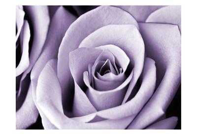 https://imgc.artprintimages.com/img/print/lavender-rose_u-l-f8ren00.jpg?p=0
