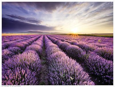 Lavender Sunrise--Art Print