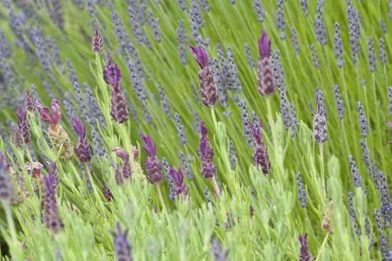 Lavender Sway I-Dana Styber-Photographic Print