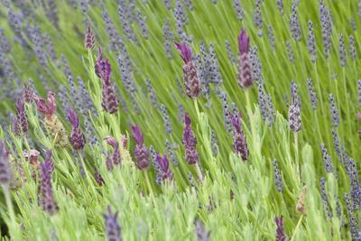https://imgc.artprintimages.com/img/print/lavender-sway-i_u-l-q10pz600.jpg?p=0