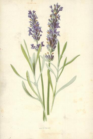 Lavender-Frederick Edward Hulme-Giclee Print