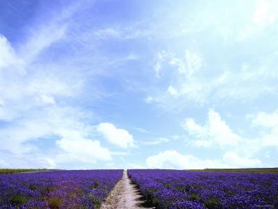 Lavender--Photographic Print