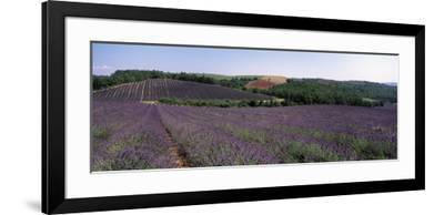 Lavenders Growing in a Field, Provence, France--Framed Photographic Print