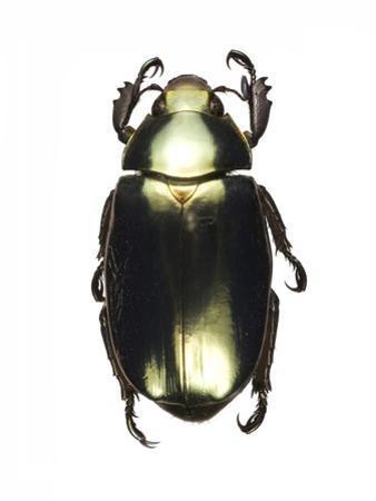 Chrysina Scarab Beetle by Lawrence Lawry