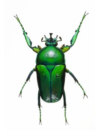 Neptunides Flower Beetle by Lawrence Lawry