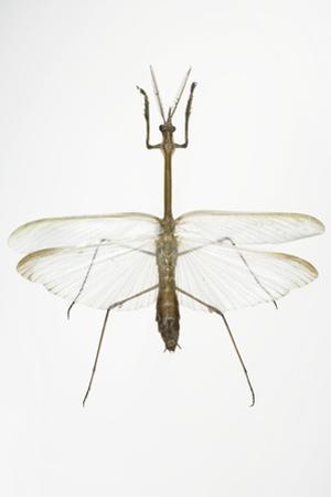 Praying Mantis by Lawrence Lawry