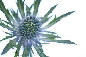 Sea Holly (Eryngium Sp.) by Lawrence Lawry