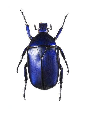 Torynorrhina Flower Beetle