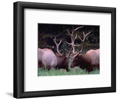 Elk (Cervus Alphus), Jasper National Park, Alberta, Canada