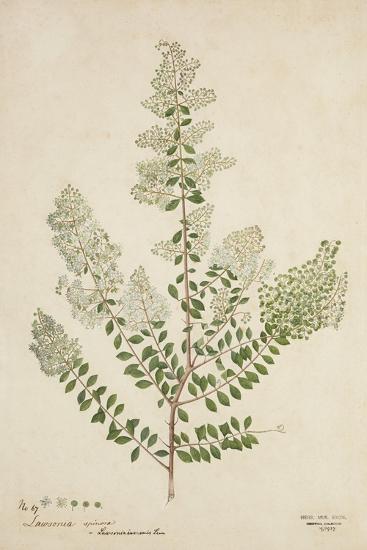 Lawsonia Spinosa, 1880-1900--Giclee Print