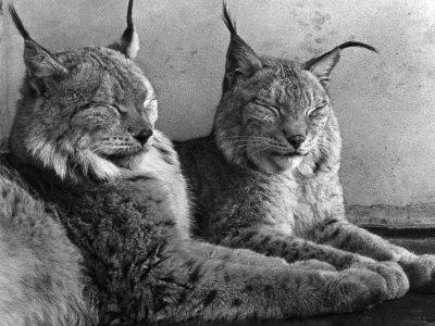 """Laying in Noonday Sun"" Beautiful Pair of Northern Lynx Effected by Sudden Warm Spell--Photographic Print"