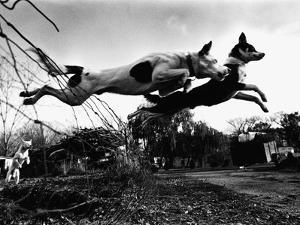 Dogs Leaping Over Wire Fence by Layne Kennedy