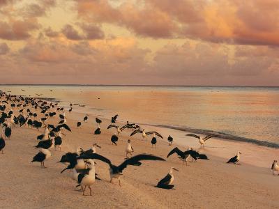 Laysan Albatross Juveniles on the Beach, Phoebastria Immutabilis, Midway Atoll, Hawaiian Leeward Is-Frans Lanting-Photographic Print