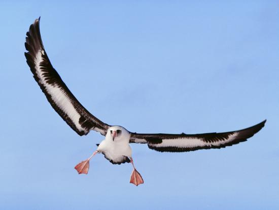 Laysan Albatross Landing, Phoebastria Immutabilis, Hawaiian Leeward Islands-Frans Lanting-Photographic Print
