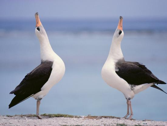 Laysan Albatrosses Courting, Phoebastria Immutabilis, Hawaiian Leeward Islands-Frans Lanting-Photographic Print