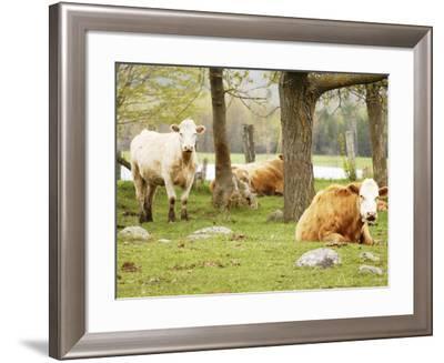 Lazy Cows on a Farm--Framed Photographic Print