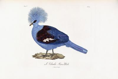 Le Colombi-Hocco Male, 1796-1808--Giclee Print