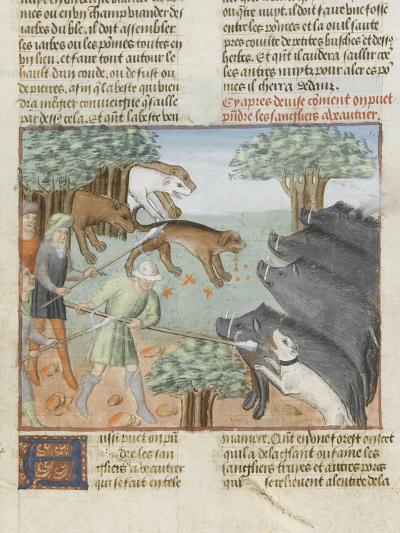 Le Livre de la chasse de Gaston Phébus : chasse aux sangliers--Giclee Print