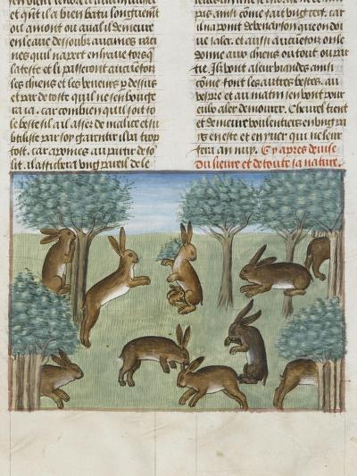 Le Livre de la chasse de Gaston Phébus : le lièvre et sa nature--Giclee Print