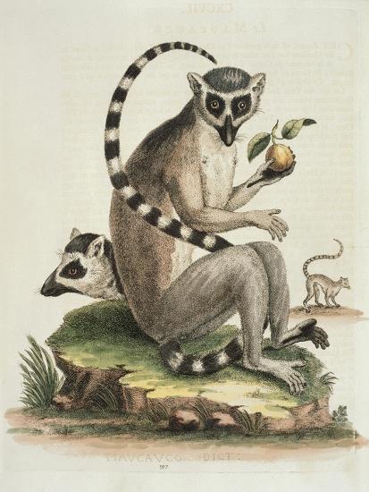 Le Maucuaco, c.1751-George Edwards-Giclee Print