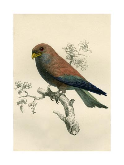 Le Rolle De Madagascar - Rollers - Eurystomus Violaceus 1863-Antoine Roussin-Giclee Print
