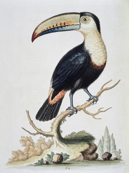 Le Toucan, c.1751-George Edwards-Giclee Print