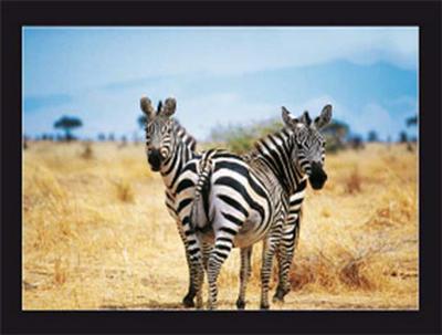 Le Zebre A Deux Tetes-Pierre Douay-Art Print