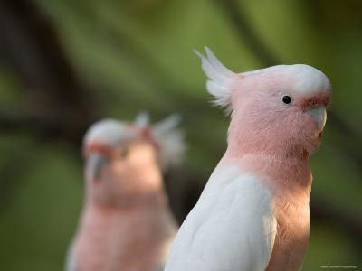 Leadbeaters or Major Mitchell's or Pink Cockatoo-Joel Sartore-Photographic Print