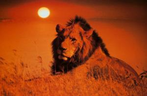 Leadership: Lion