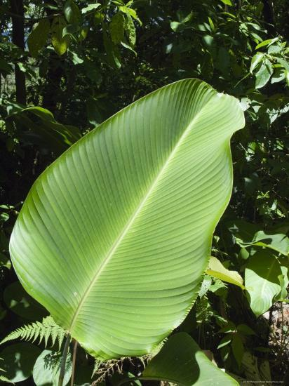 Leaf, Arenal Area, Costa Rica, Central America-R H Productions-Photographic Print